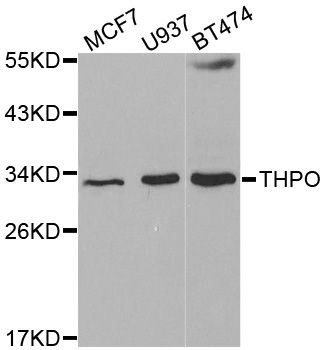Western Blot (WB) THPO.