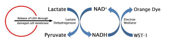 CytoSelect LDH Cytotoxicity assay kit