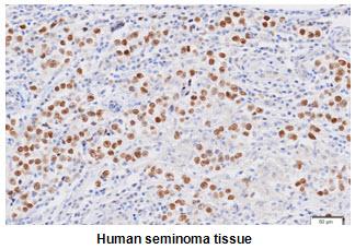 Immunohistochemistry (IHC) Nanog.