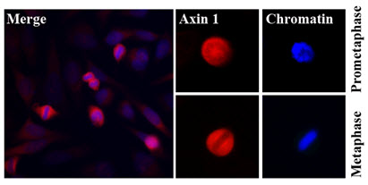 Immunofluorescence (IF) Axin1.