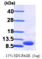 SDS-Page CXCL3.