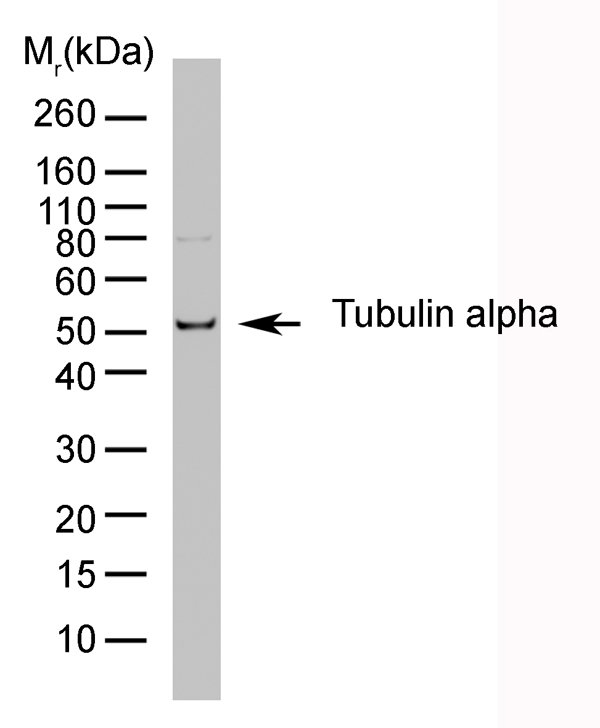 Testing Data TUBULIN ALPHA.