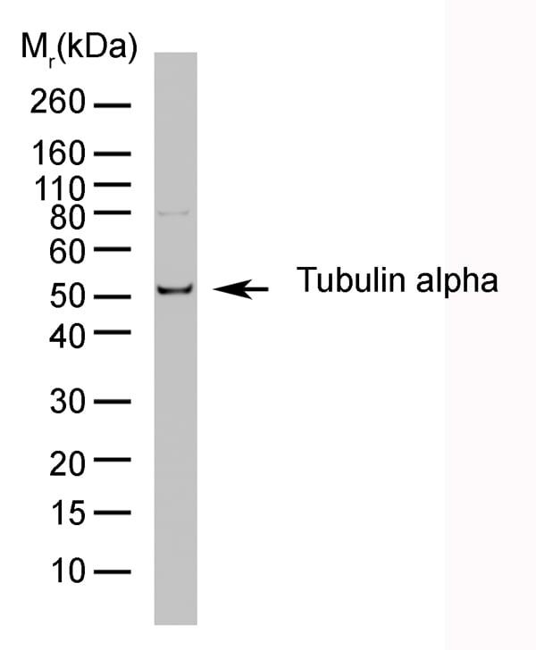 Testing Data TUBULIN ALPHA.
