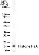 Western Blot (WB) histone2A1.