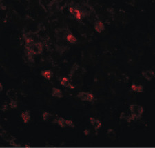 Immunofluorescence (IF) APC6.