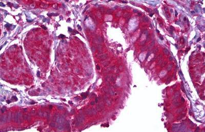 Immunohistochemistry (IHC) MFGE8.