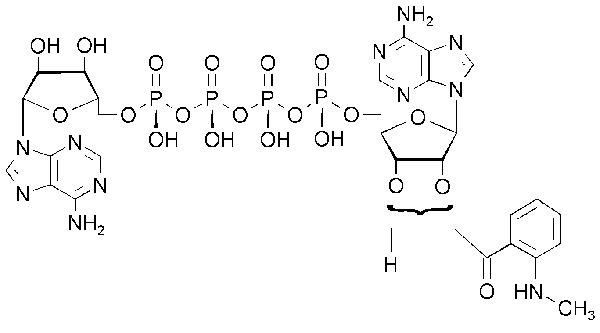 Structure P1- (5\'- [2\'- / 3\'- O- (N\'- Methylanthraniloyl)adenosyl])- P4- (5\'- adenosyl)- tetraphosphate (MANT-Ap4A / MANT-AppppA).