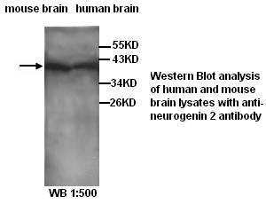 Western Blot (WB)