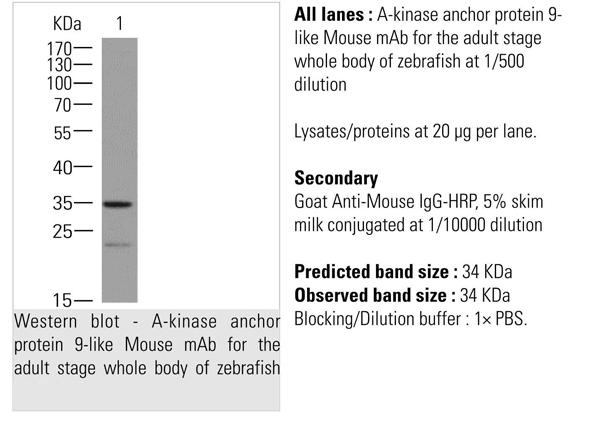 anti-A-kinase anchor protein 9-like antibody Western Blot (WB) (WB) image