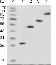 Western Blot (WB) GFP.