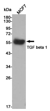 Western Blot (WB) TGF beta 1.