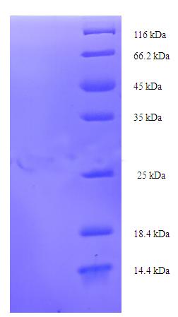 SDS-Page Pollen allergen Dac g 3.