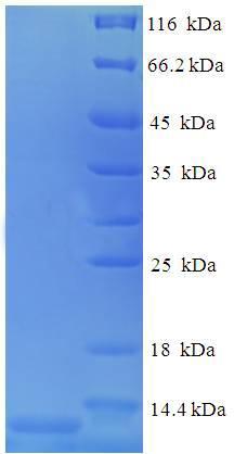 SDS-Page Ccl4.