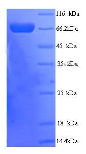 SDS-Page PTPRN2.