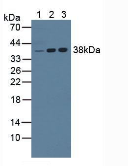 Western Blot (WB) Knockout Verification NPM.