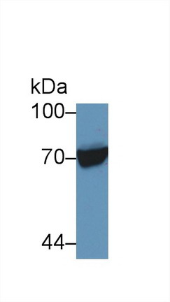 Western Blot (WB) Knockout Verification HSPA1L.