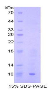 SDS-Page MIP3b.