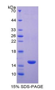 SDS-Page CD40L.