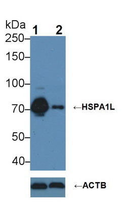 Knockout Validation HSPA1L.