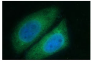 Immunofluorescent CAPRIN2.