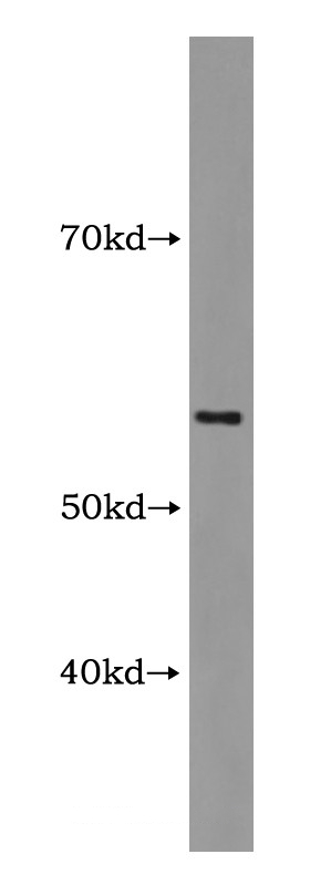anti-ANXA11 antibody Testing Data image