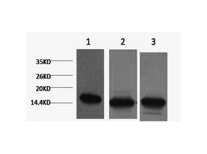 Western Blot (WB) Histone H3.