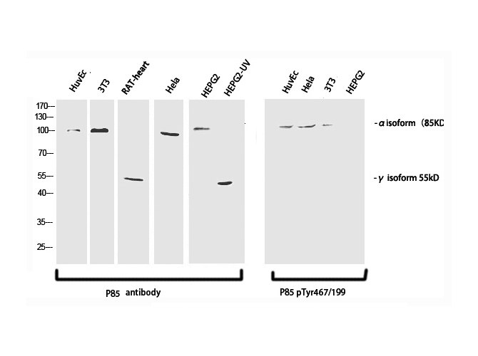 anti-PI 3-kinase p85alpha/gamma antibody Western Blot (WB) (WB) image