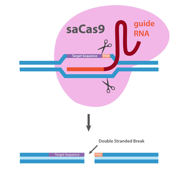 Testing Data saCas9 Nuclease.