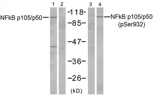 Western Blot (WB) NFkB p105.