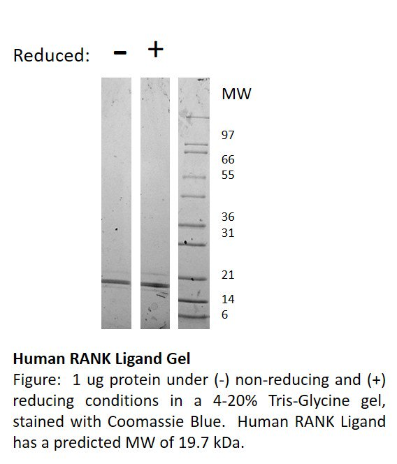 RANK active protein Gel Data image