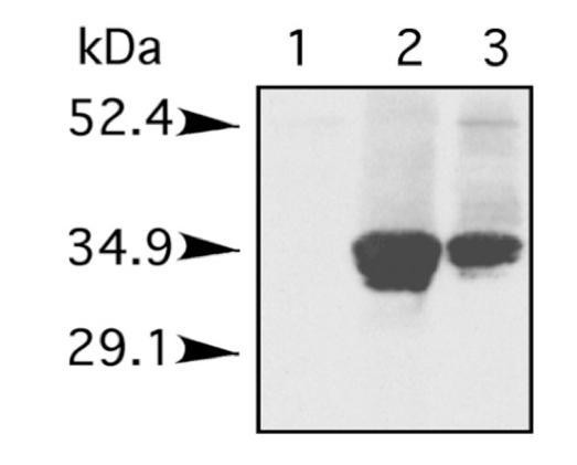 Western Blot Histone 1.
