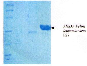 Feline leukemia P27 recombinant protein  image