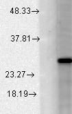 Testing Data Kcnmb2.