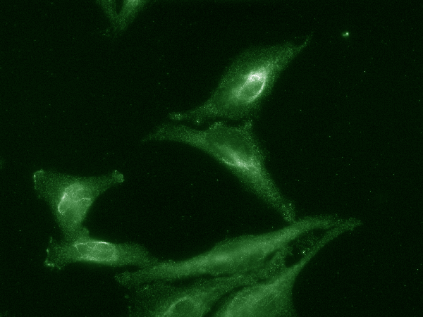 Immunocytochemistry/Immunofluorescence (ICC/IF) Ahsa1.