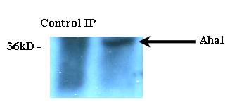 Immunoprecipitation (IP) Ahsa1.