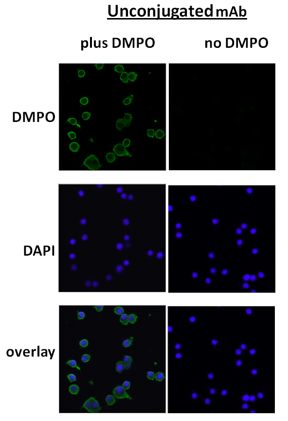 Immunocytochemistry/Immunofluorescence (ICC/IF) DMPO.