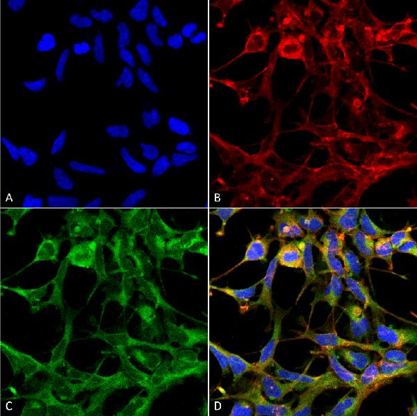 Immunocytochemistry/Immunofluorescence (ICC/IF) Nitrotryptophan.
