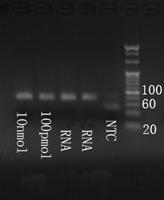 Electrophoresis hsa-mir-1271-5p Real-Time RT-PCR.