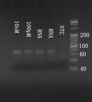 Electrophoresis mmu-mir-125a-3p.