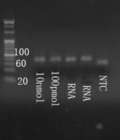 Electrophoresis mmu-mir-342-3p.