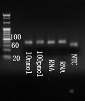 Electrophoresis mmu-mir-29a-3p.