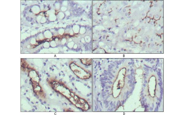 Immunohistochemistry (IHC) WNT10B.
