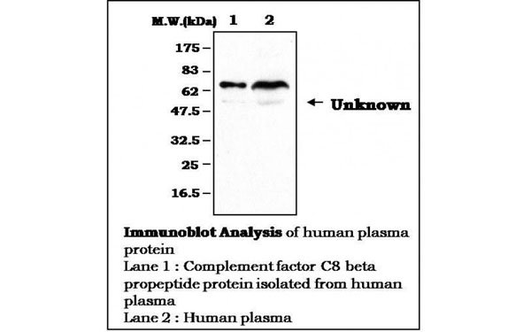 Western Blot (WB) Complement Factor C8 beta propeptide.