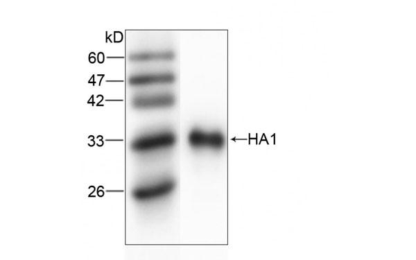 HA1C elisa kits, antibodies, proteins products