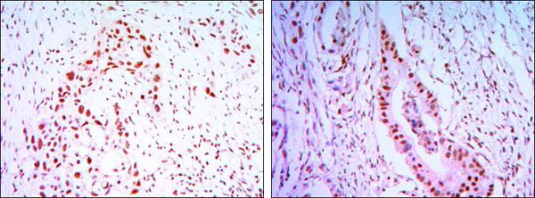Immunohistochemistry (IHC) CDC27.