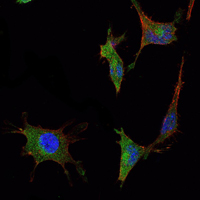 Immunofluorescence (IF) SMAD5.