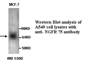 anti-NGFR P75 antibody Testing Data image