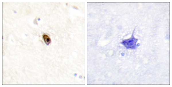 anti-AurB/C antibody Testing Data image