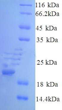 SDS-Page CAV1.