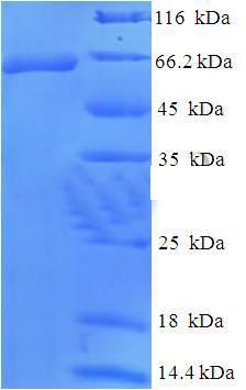 SDS-Page WT1.